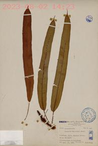 Oleandra wallichii Presl