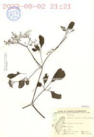 Cayratia japonica (Thunb.) Gagnep.