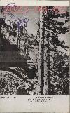 石門附近の栂の原始林